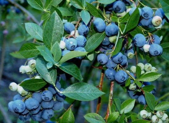 Tifblue Blueberry Vaccinium Ashei Tifblue